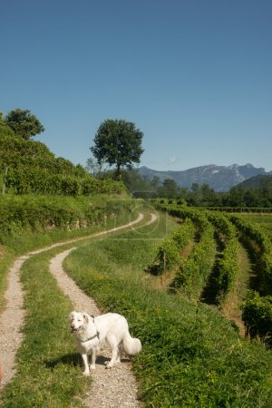 White dog walking at rural