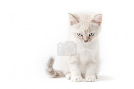 White young cat