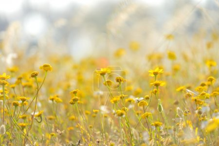 Yellow daisies in field