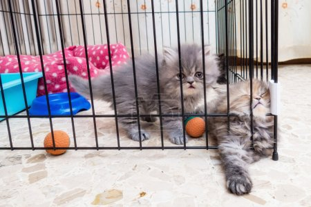 Persian kittens longhair
