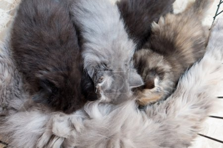 cute Persian kittens and cat