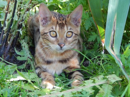 Photo pour Bengale chat fixe - image libre de droit