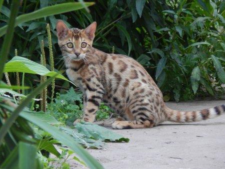 Photo pour Bengale chaton assis sur la route - image libre de droit