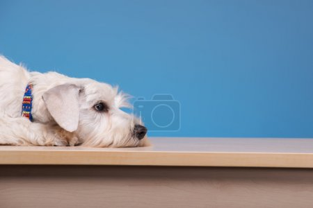 Cute little dog on the table