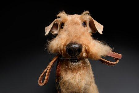 Photo pour Chien avec laisse en cuir. Portrait de chien Airedale Terrier brun noir avec une laisse dans la bouche isolé sur fond noir - image libre de droit