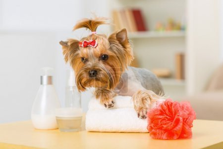 Yorkshire terrier on folded towel.