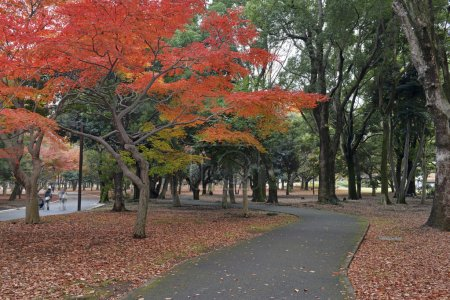 Japanese Maples in autumn color, Ueno Park, Tokyo, Japan