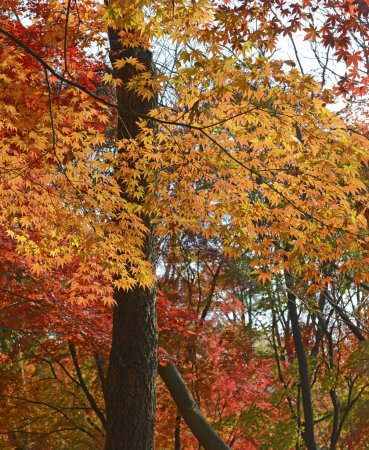 Autumn foliage, Japanese maples in fall colors