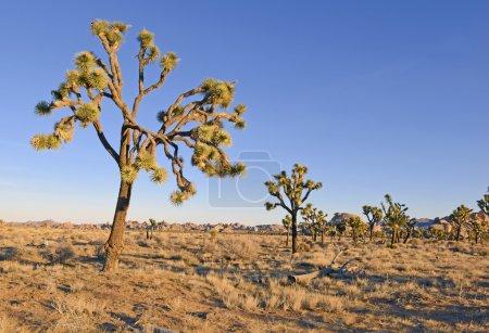 Desert landscape in Joshua Tree National Park, California, USA