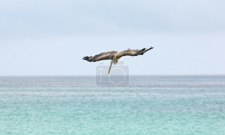 Pelican diving into water after fish