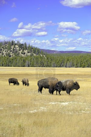 American Bison, Yellowstone National Park, Rocky Mountains
