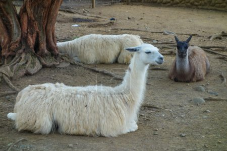 Llama is a domesticated South American camelid...