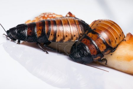 Madagascar hissing cockroach on white