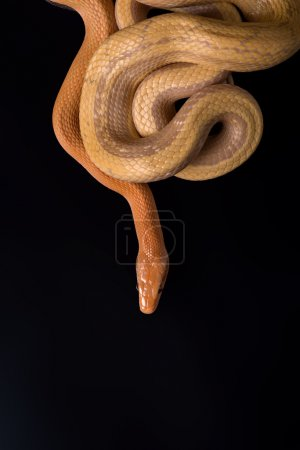 Photo for Yellow Rat Snake  large and bright yellow striped snake of the southeastern United States on black background with copy place - Royalty Free Image