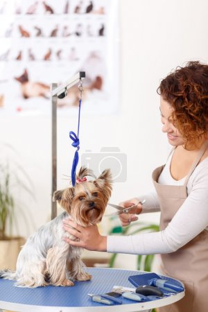 Yorkshire terrier is being trimmed by groomer.