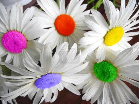 Colorful camomile