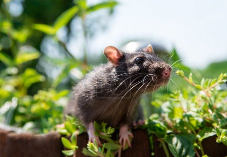 Curious gray rat pet walks