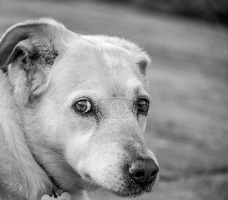 Photo pour Labrador croisée chien de thérapie appelée Snowie. Snowie travaille avec des personnes handicapées mentales dans les foyers, jeunes enfants dans les hôpitaux et les personnes en deuil enfants. Elle est adorée partout où elle va - image libre de droit