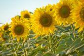 Pole kvetoucí slunečnice