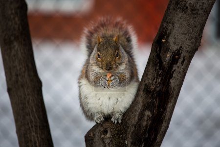 The eastern gray squirrel has predominantly gray f...