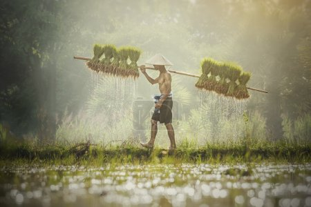 Farmers carry rice seedlings on a shoulder in the rainy season