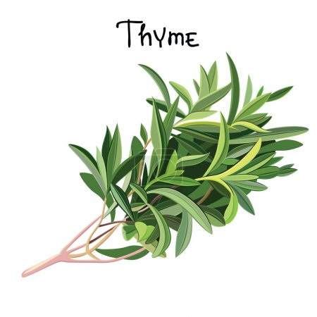 Illustration pour Floraison de thym frais. Du thym frais. Illustration vectorielle - image libre de droit