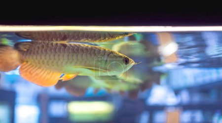 Photo for Juvenile Asian Golden Arowanas for sale at a local pet store. A popular freshwater aquarium fish. - Royalty Free Image