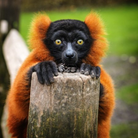 Adult red ruffed lemur in dutch zoo, The Netherlan...