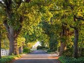 Old oak trees lane in sunset ligh