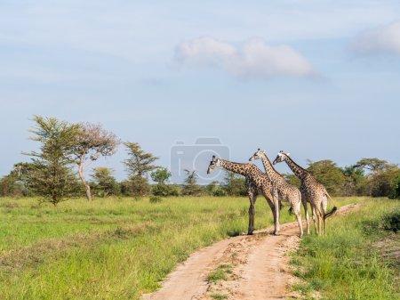 Giraffas on savanna