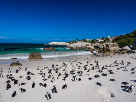 African penguin in Simon's Town