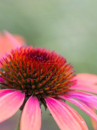 Full-blown Purple Flower