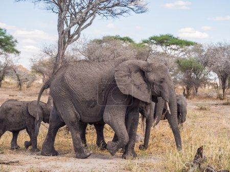 Photo pour Troupeau d'éléphants dans le parc national de Tarangire en Tanzanie, en Afrique. Mère avec une défensive et un bébé au foyer . - image libre de droit