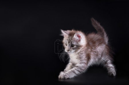 Maine Coon kitten on a black background