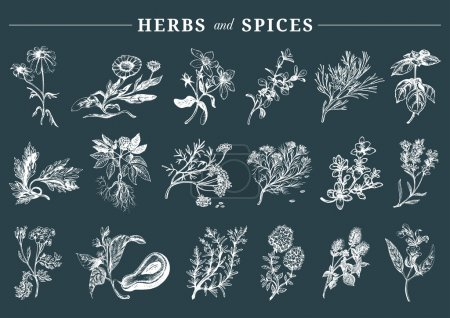 Illustration for Herbs and spices set. Hand drawn medicinal plants. Organic healing wild flowers. Vector botanical illustrations. Officinale plants. Engraving floral sketches - Royalty Free Image