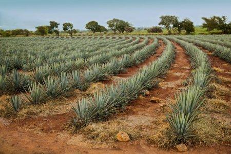 maturing fields tequila