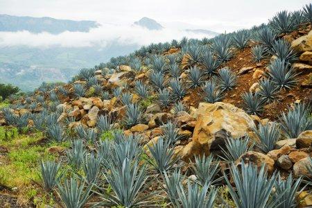 Tequila Landscape