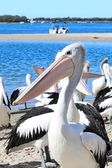 Divoké Pelikán australský