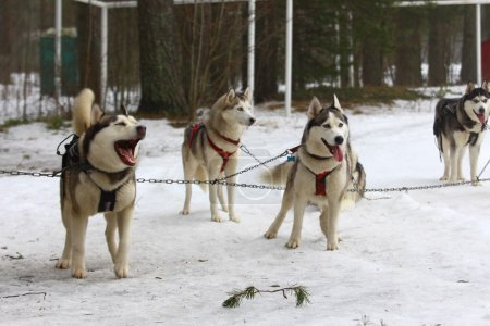 A pack of huskies in harness.