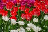 Virágzó tulipán
