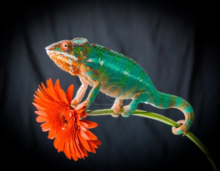 red background sitting flower reptile panther