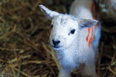Curious little lamb in a pen...