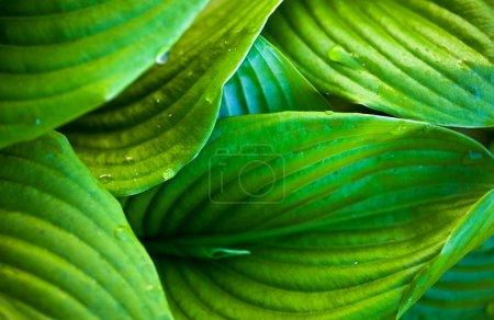 Photo pour Gros plan des feuilles d'hosta vert avec des gouttes de rosée - image libre de droit