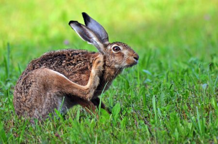 Photo for Photo of brown hare scratching it's head - Royalty Free Image