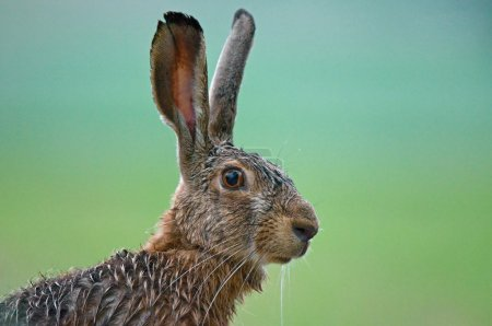 Photo for Close up photo of brown hare - Royalty Free Image