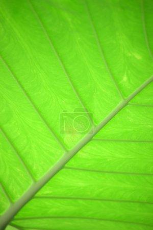 Photo pour Plan rapproché de la feuille verte - image libre de droit