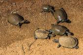 Schildkröten. Südafrika, Pilanesberg Nationalpark