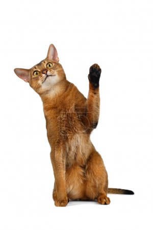 Funny Abyssinian Cat Sit, Curiously Looking and Raising up paw