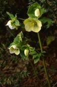 Blossoming Caucasian hellebore