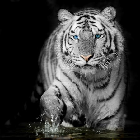 Black & White Tiger